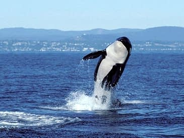 1524150051-1491253602-j2orcajump_1992_center_for_whale_research